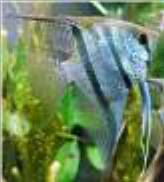how to breed the angelfish on fish with attitude