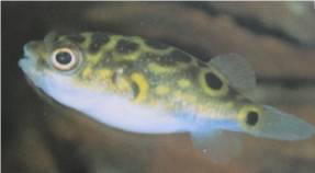 Green Pufferfish