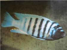 Malawi Blue Cichlid