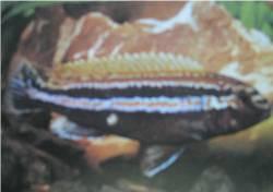 Malawi Golden Cichlid