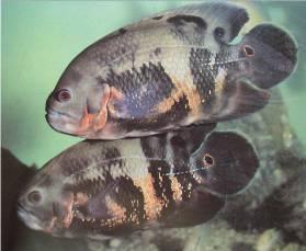 Zebra Oscar Fish | Oscar