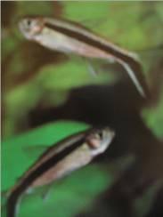 Penguin Fish